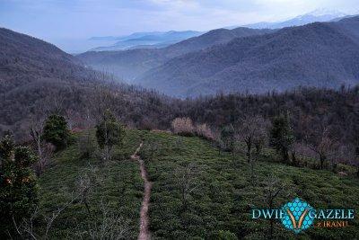 plantacje herbaty iran