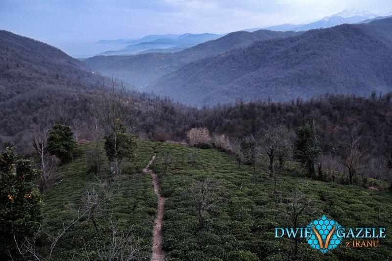 plantacja-herbaty-iran