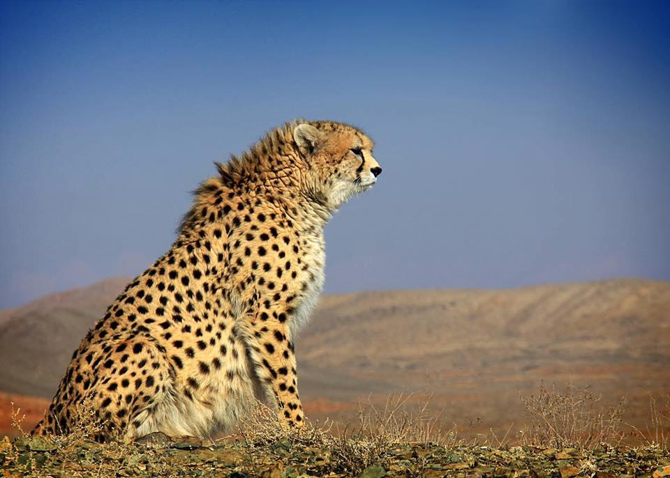gepard-azjatycki-iran